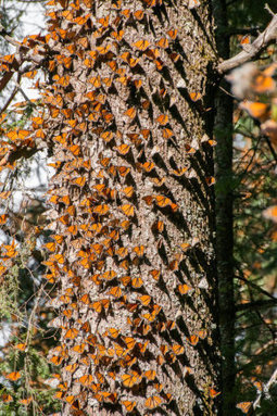 Monarch butterflies employ a light-dependent magnetic compass during migration | Amazing Science | Scoop.it
