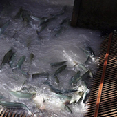 Living on Earth: Pink Salmon In Trouble on the White River | Food issues | Scoop.it