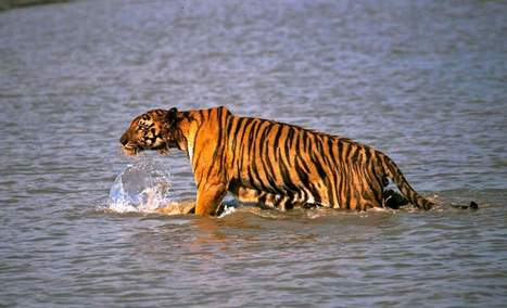 One of the World's Largest Tiger Habitats Has Only 100 Left | Upsetment | Scoop.it