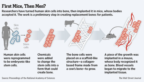 NYSCF scientists create personalized bone substitutes from skin cells   Tissue Engineering   Scoop.it