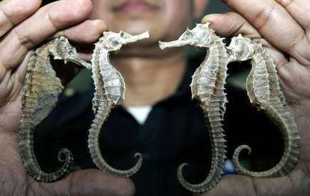 Thailand suspends seahorse trade amid conservation concerns | Marine Conservation Research | Scoop.it