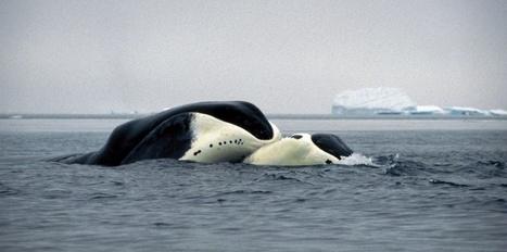Pourquoi la baleine boréale peut vivre 200 ans   Ces animaux sauvages ou domestiques maltraités par l'homme   Scoop.it