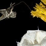 Moths wired two ways to take advantage of floral potluck | UW Today | Science&Nature | Scoop.it