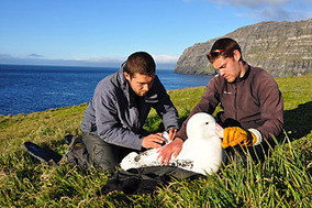 PEER: Largest seabird alters their foraging due to climate change | OUR OCEANS NEED US | Scoop.it