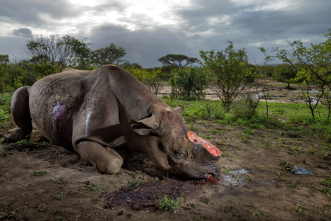 Special Investigation: Inside the Deadly Rhino Horn Trade   Let's End Poaching   Scoop.it