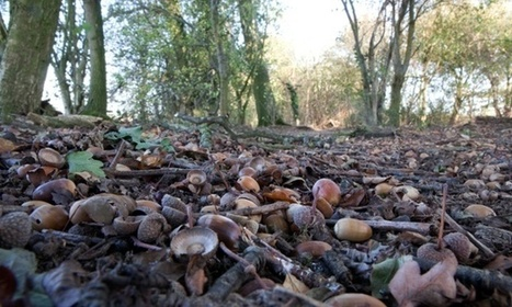 UK acorn crop 'being hit by climate change' | climate change | Scoop.it