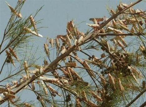 Afrique. Apparition des criquets pèlerins : menaces inquiétantes sur les récoltes | EntomoNews | Scoop.it