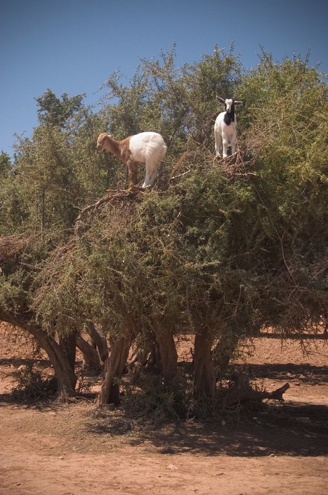 Photos Capture the Incredible Tree-Climbing Goats of Morocco Mounting Branches | Le It e Amo ✪ | Scoop.it