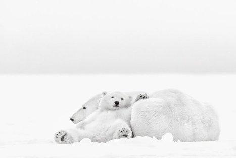 A la rencontre des ours polaires de l'Arctique | L'art, l'humour et l'humain... | Scoop.it