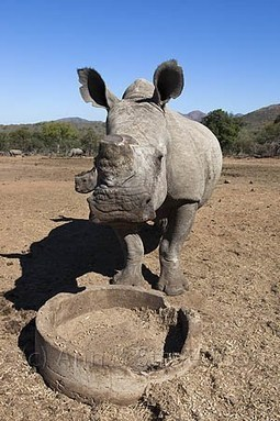 Legalising horn trade: a rhino breeder's view | Wildlife and Environmental Conservation | Scoop.it