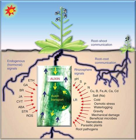 Auxin and the integration of environmental signals into plant root development | Plant Microbe Interactions | Scoop.it