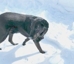 "HAPPY ENDING: Home, Safe n' Sound: Lost Dog: Masstown, Colchester Co., NS — Black Lab Mix, Male, 8 — ""Mack"" 