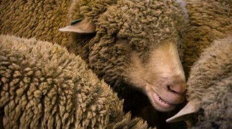 Australie: Des moutons seront bientôt gardés par des robots | Planete DDurable | Scoop.it