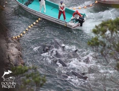 End The Senseless Slaughter In Taiji | Marine Conservation (Konservasi Laut) | Scoop.it