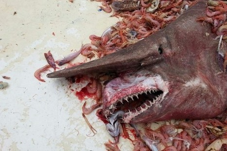 Goblin Shark Caught and Released in Gulf of Mexico   I Fucking Love Science   News RoundUP for Marine Science   Scoop.it