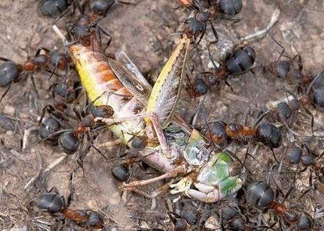 Les fourmis, des insectes encore plus forts qu'on ne le pense? - libération   Inter Nettoyage Service Bretagne   Scoop.it