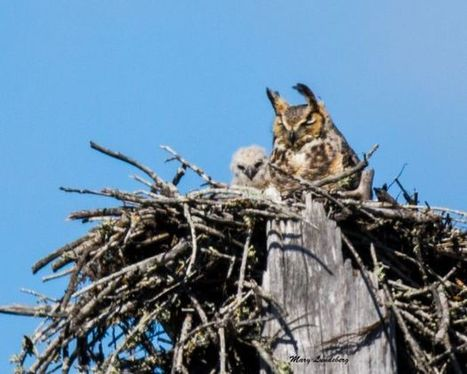 Great Horned Owl with owlet @FLStateParks | Motorhome Madness | Scoop.it