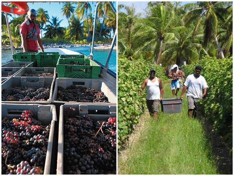 Cocotiers, sable blanc et… vignes | Route des vins | Scoop.it