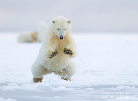 Breaking Ice - Ice Bears of Arctic 11 by Siddhardha Garige | Bears | Scoop.it