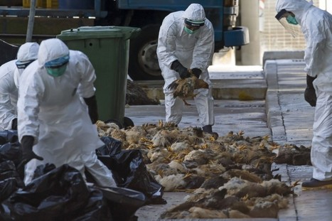 Current bird flu in China could become 'pandemic' threat to humans, researchers say | Amazing Science | Scoop.it