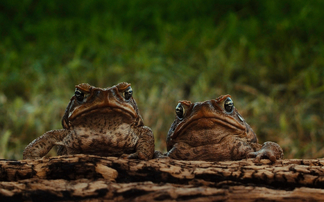 Everyone agreed: cane toads would be a winner for Australia | The cane toad | Scoop.it