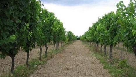 Enherber le rang de vigne pour remplacer le désherbage en viticulture - Viti-net.com   développement durable : quel avenir voulons-nous ?   Scoop.it