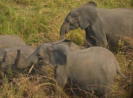 Elephant poaching ring dismantled | Pachyderm Magazine | Scoop.it