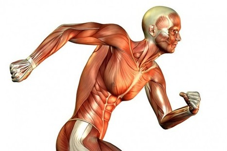 The Role of Muscle Fibers In Running - velonews.competitor.com | Athletic Performance & Exercise Physiology | Scoop.it
