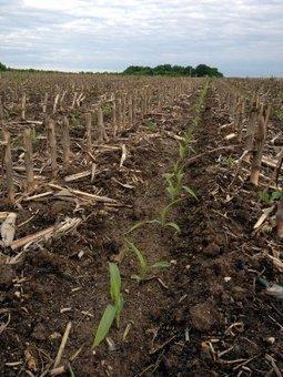 Semis de maïs : photos d'une parcelle en TCS. Agriculture de Conservation | agriculture de conservation | Scoop.it