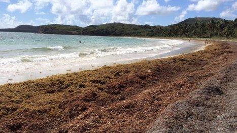 Les algues sargasses transformées en bioplastique ? - martinique 1ère | Revue de Presse 7ème Continent | Scoop.it