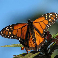 Climate Change, Herbicide May Doom Monarch Butterfly Migration | Climate change challenges | Scoop.it