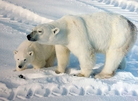 A New Study Suggests That Global Warming Won't Kill Off The Polar Bears | Inuit Nunangat Stories | Scoop.it
