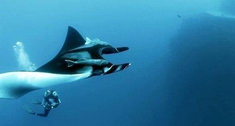 Vidéo HD | Mexique - Plongée avec les raies manta géantes ! | Plongeurs.TV | Scoop.it