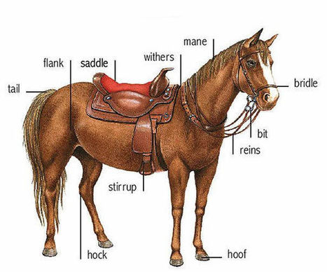 Horse parts and equipment learning English | Learning Basic English, to Advanced Over 700 On-Line Lessons and Exercises Free | Scoop.it