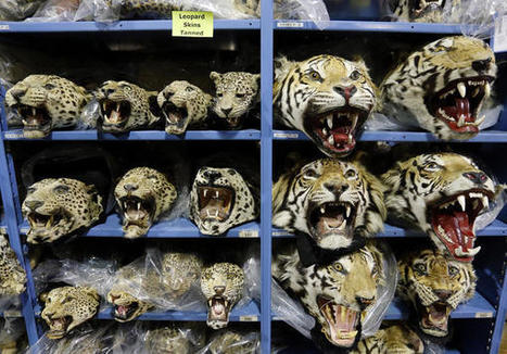 Colorado warehouse exposes cost of illegal wildlife trade | Wildlife Trafficking: Who Does it? Allows it? | Scoop.it