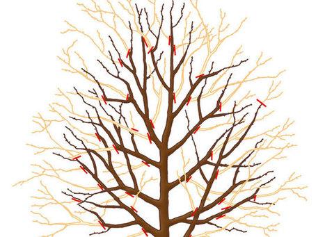 Tailler poiriers et pommiers en hiver | Le fruit de l'actualité | Scoop.it