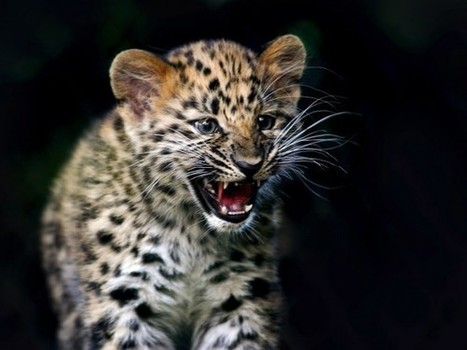6 of Nature's Loneliest Animals Looking for Love - National Geographic | amur leopard | Scoop.it