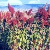 Planta Sagrada de los Incas ataca a cultivos transgénicos | Buenasiembra | Gonzalo Maldonado Andia | Scoop.it