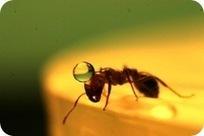 Comment les fourmis matelots naviguent-elles sur les flots ? - GuruMeditation   Underwater   Scoop.it