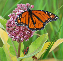 Monarch Joint Venture - Plant Milkweed | Monarchs | Scoop.it
