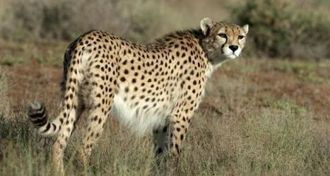 Can the Iranian cheetah outrun extinction? | Human-Wildlife Conflict: Who Has the Right of Way? | Scoop.it