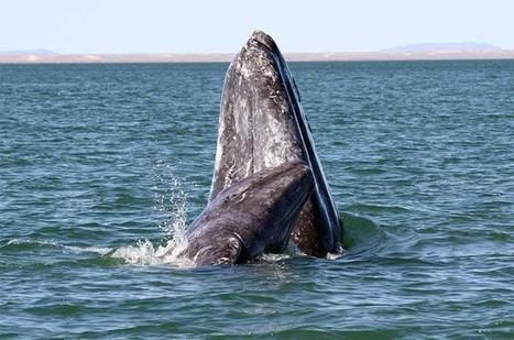 On peut reconnaître les baleines par leur visage | Zones humides - Ramsar - Océans | Scoop.it