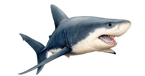 Ultimate guide to Australian sharks | Shark Attacks | Scoop.it