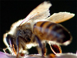 Pesticides & the silencing of the bees | Pesticide Action Network | Farming, Forests, Water & Fishing (No Petroleum Added) | Scoop.it