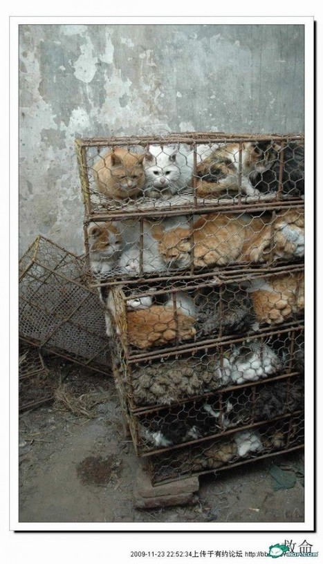 Caged Cats To Be Slaughtered For Meat Found In Tianjin – chinaSMACK | Nature Animals humankind | Scoop.it
