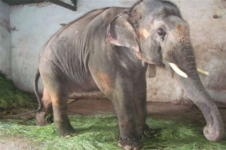 High Court Grants Captive Elephant Sunder His Freedom | Animals in Captivity | Scoop.it