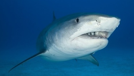Think about climate change when considering shark culls | Climate change challenges | Scoop.it
