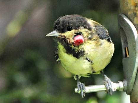 Great tit under threat from mosquito borne virus that is sweeping the country | 100 Acre Wood | Scoop.it