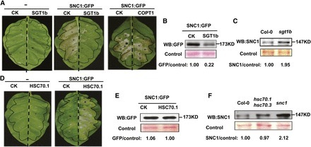 Opposing Effects on Two Phases of Defense Responses from Concerted Actions of HEAT SHOCK COGNATE70 and BONZAI1 in Arabidopsis   Plant-Microbe Interaction   Scoop.it