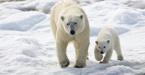 Shield Polar Bears from Global Warming | Global warming and the extinction of polar bears | Scoop.it